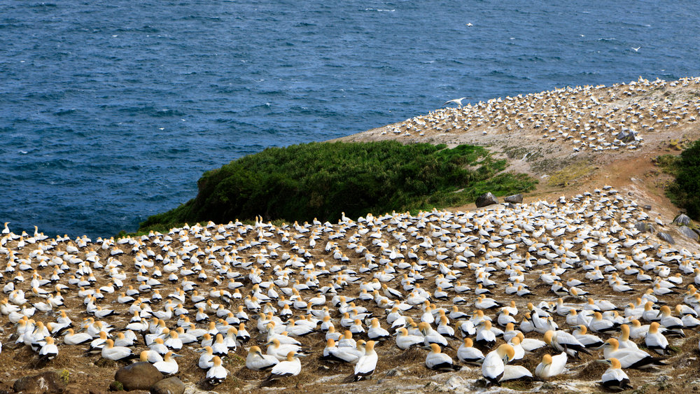 Just part of the Gannet Colony near Great Barrier Island