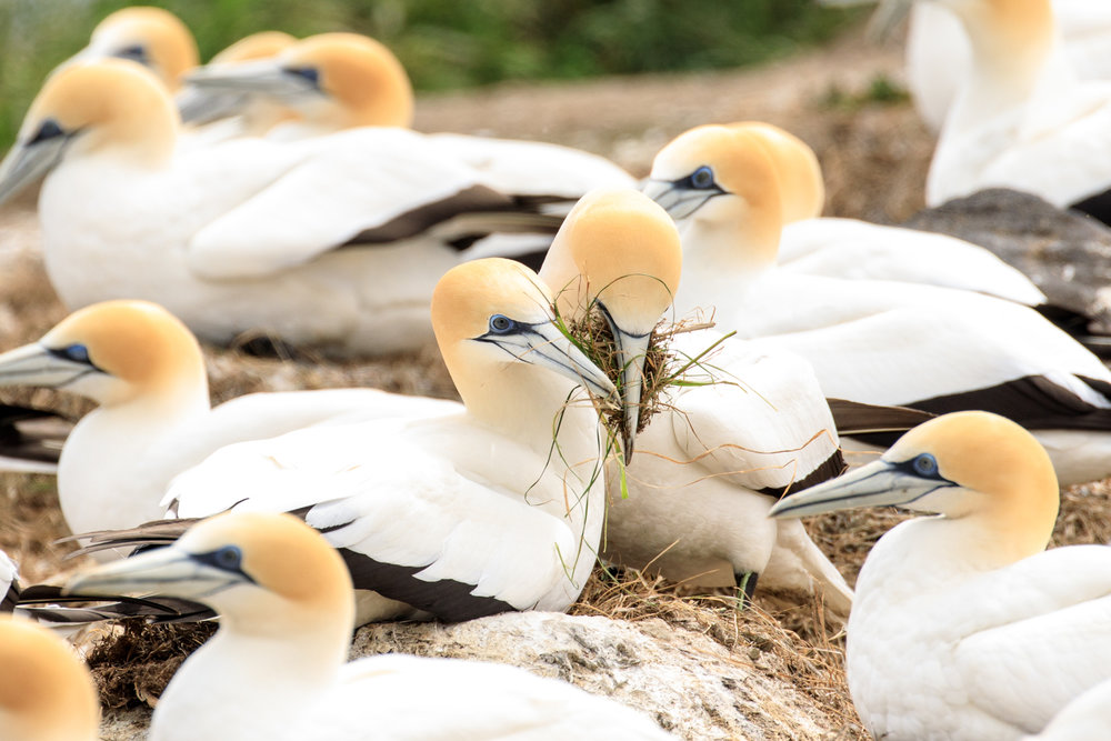 Bonding at the Gannet Colony near Great Barrier Island