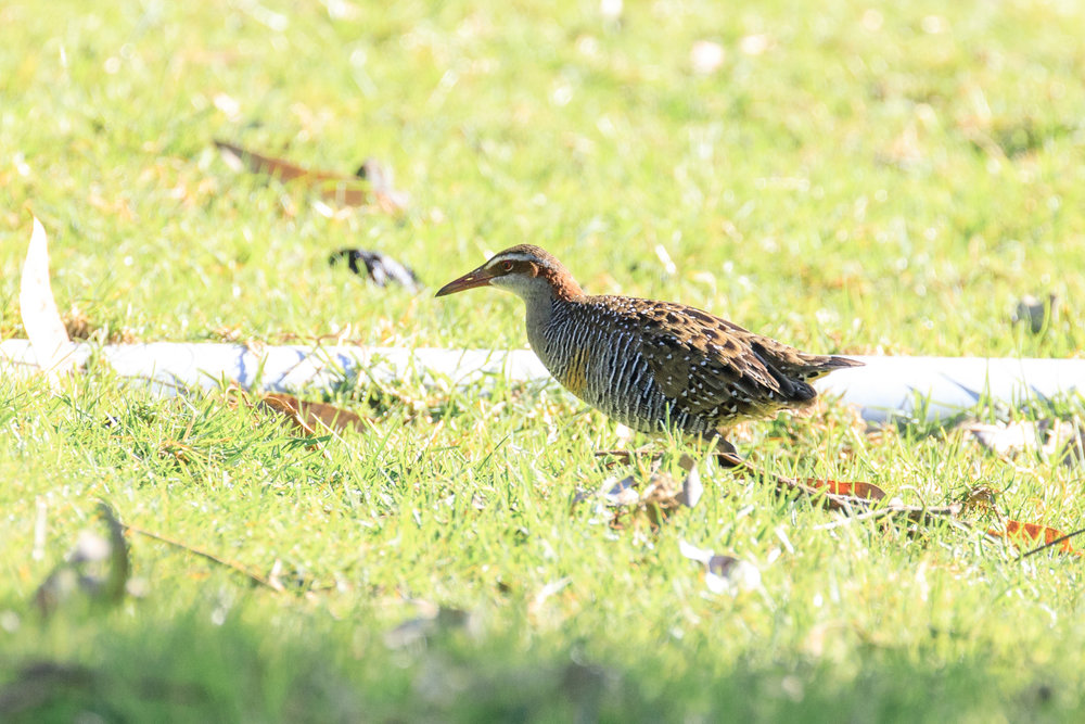 Banded Rail on Great Barrier Island