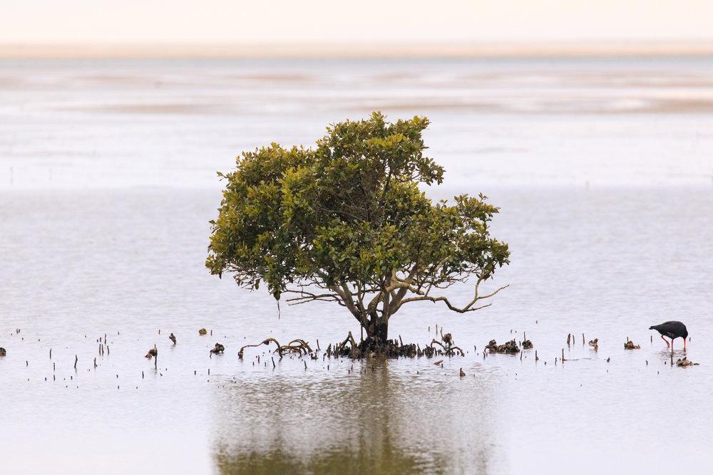 A lone mangrove - Whangapoua Beach