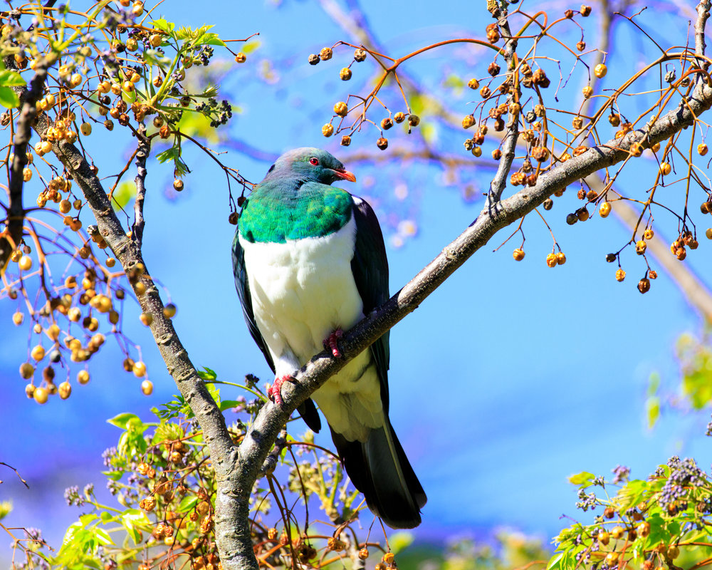 One of the many Kereru we saw.