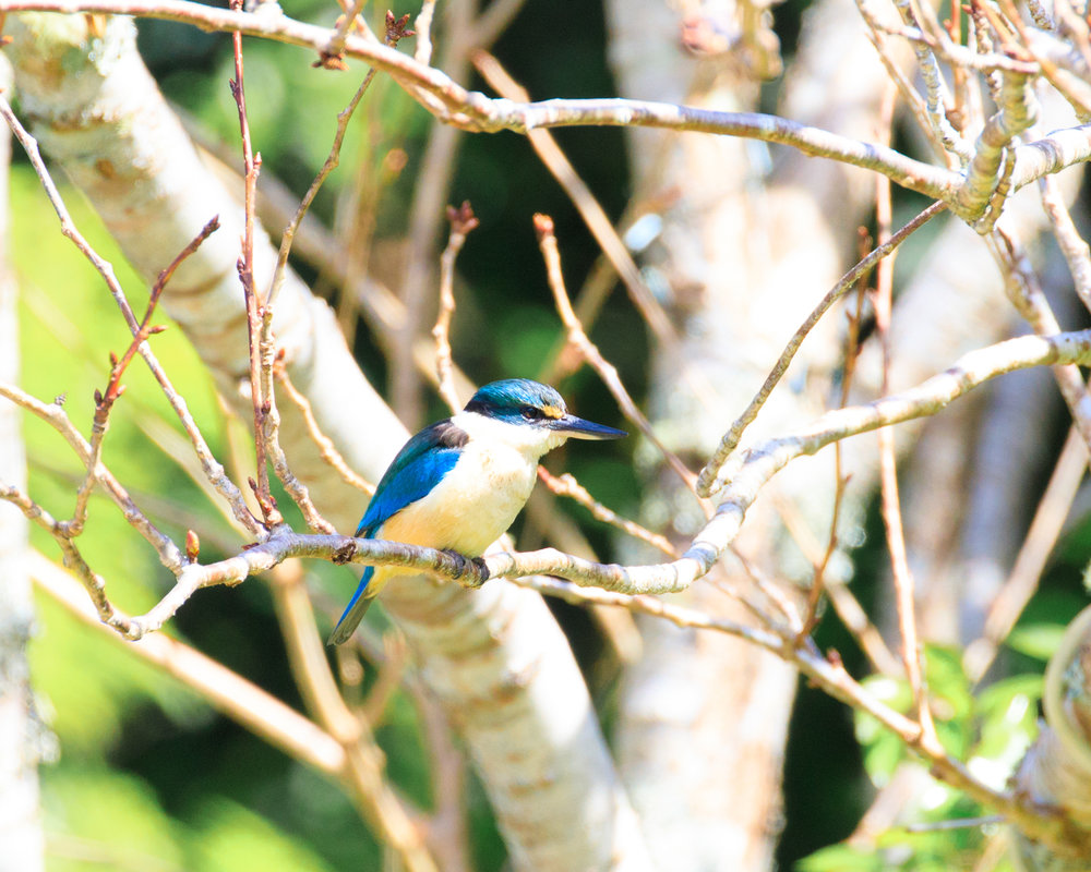 Kingfisher (which were abundant on the island)