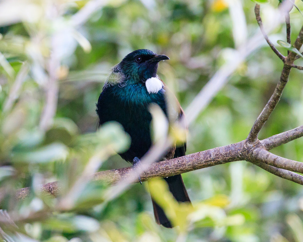 Tui - Great Barrier Island