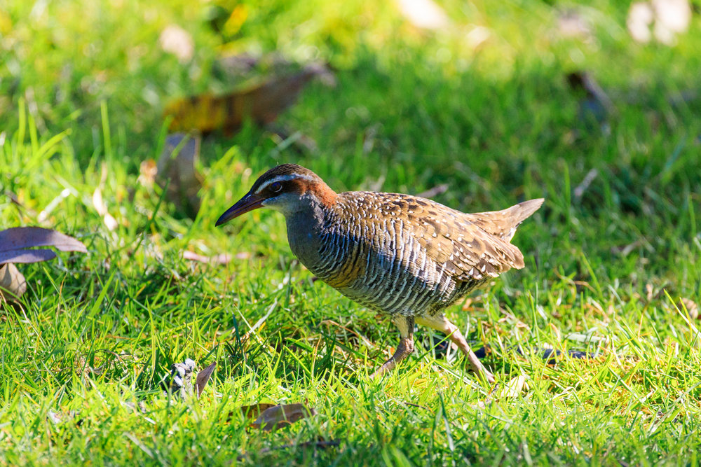 Banded Rail - Tryphena