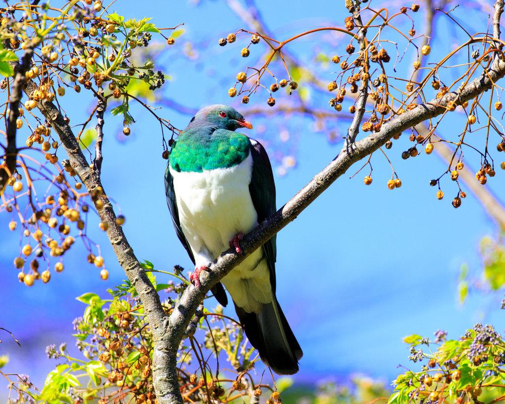 Kereru (New Zealand Pigeon) Tryphena