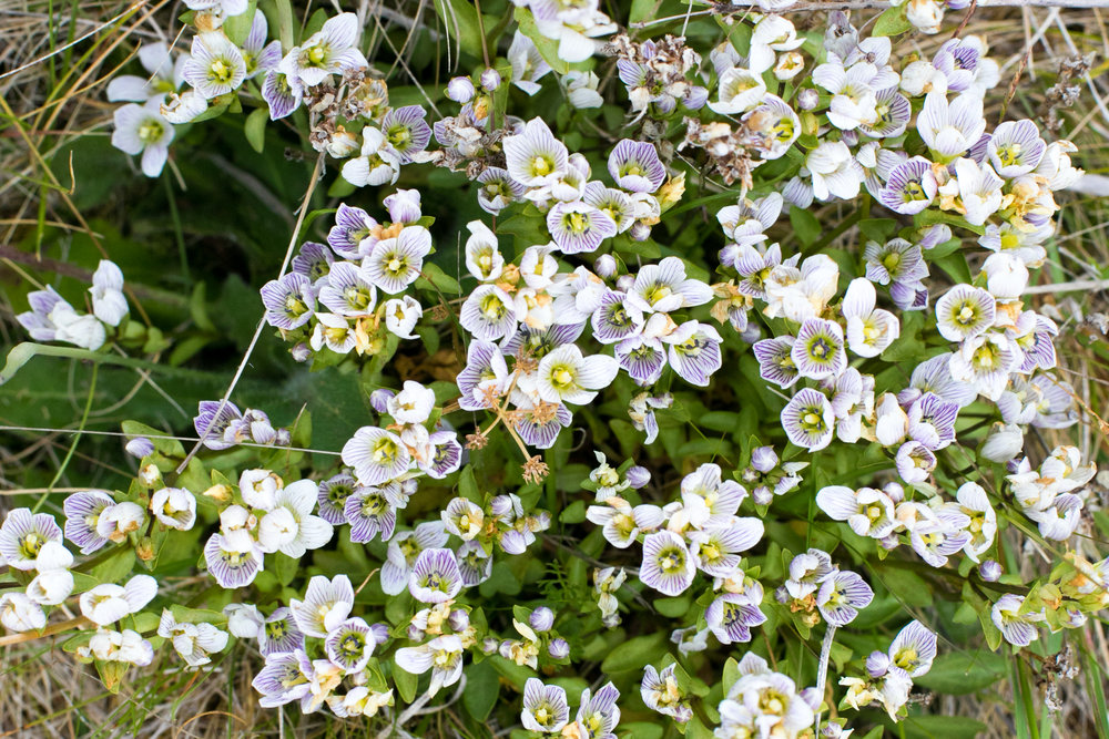 Cobb Valley Gentian (Gentianella patula)