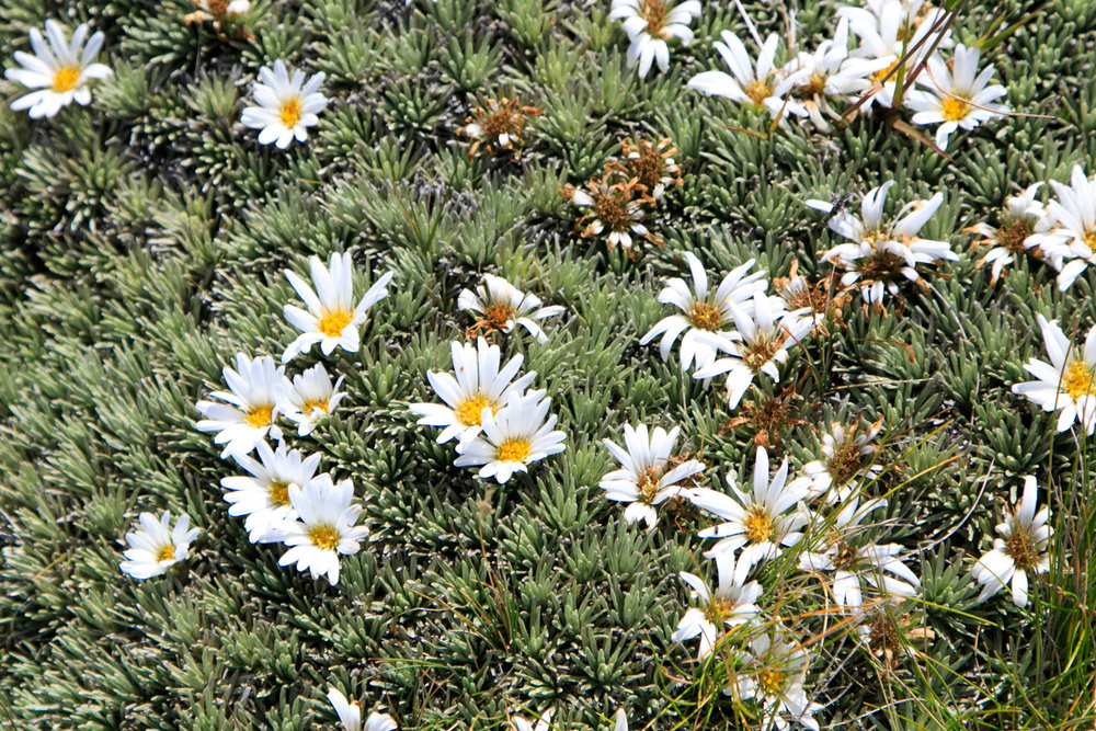 Cushion Daisies