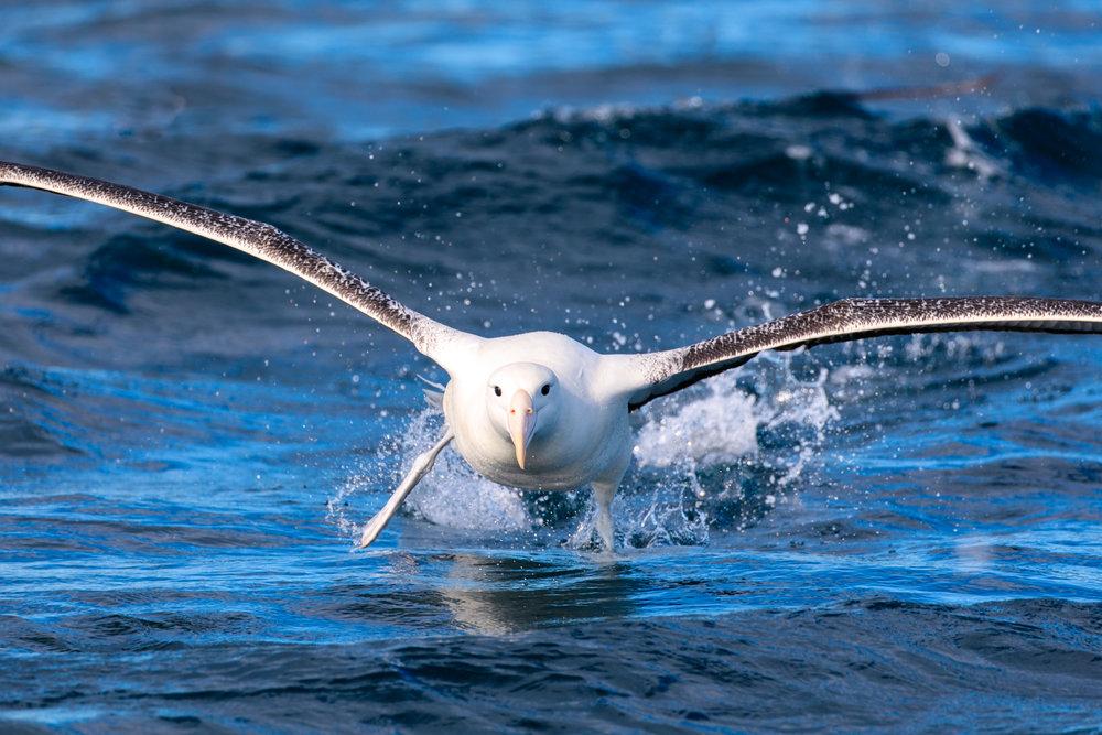 Southern Royal Albatross (I think)
