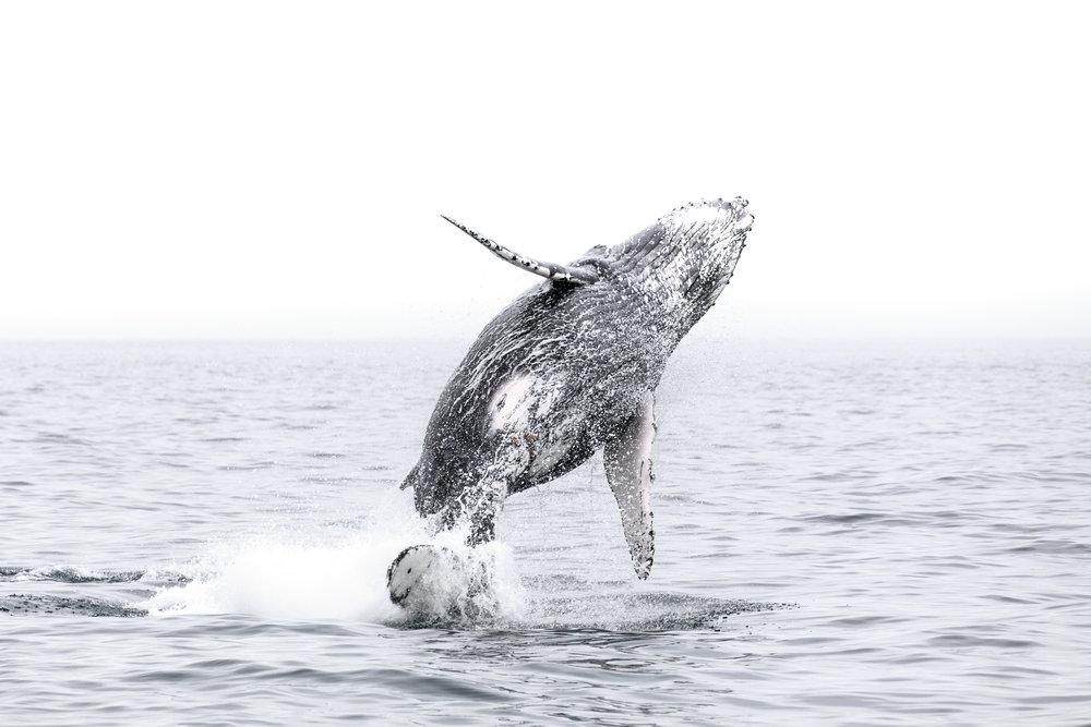 Humpback Whale - Kaikoura