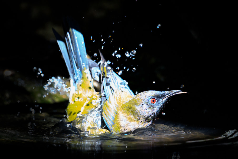 A Bellbird - Super common, but when did you last see one having a bath... ?