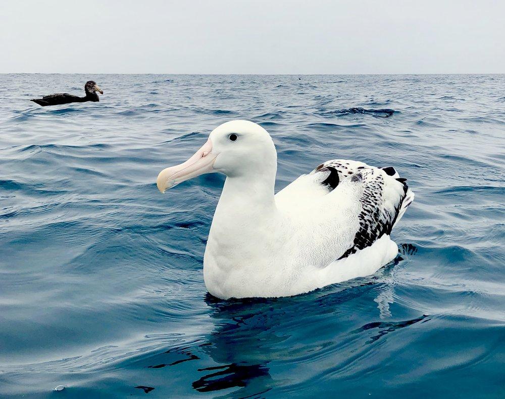 An iphone albatross