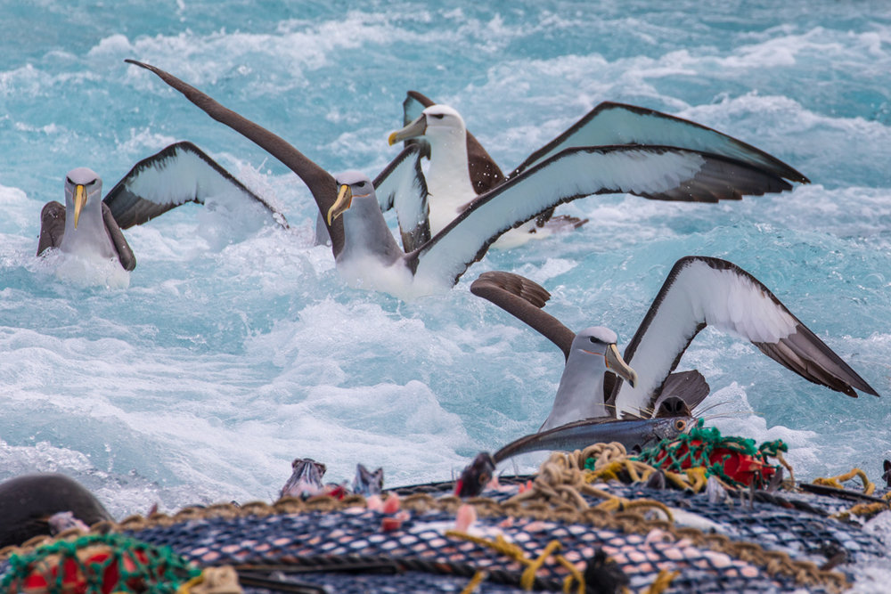 Tamzin Henderson - Otakou Sealord Cook Strait 2018 Trawl net Albatross.jpg