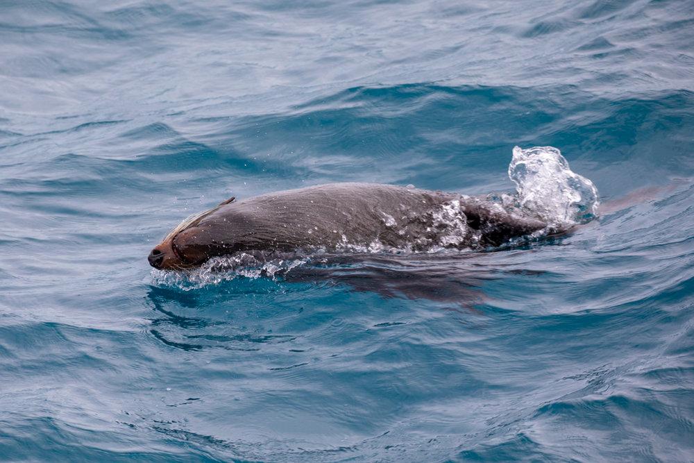 Tamzin Henderson - Otakou Sealord Cook Strait 2018 Fur Seal.jpg