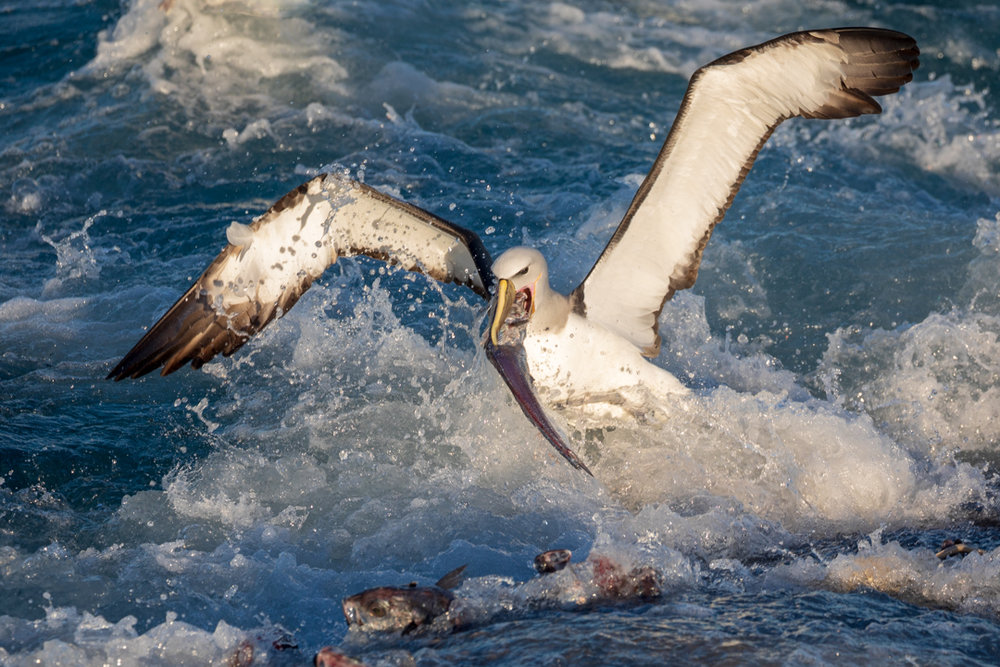Tamzin Henderson - Otakou Sealord Cook Strait 2018 Salvins  Albatross.jpg