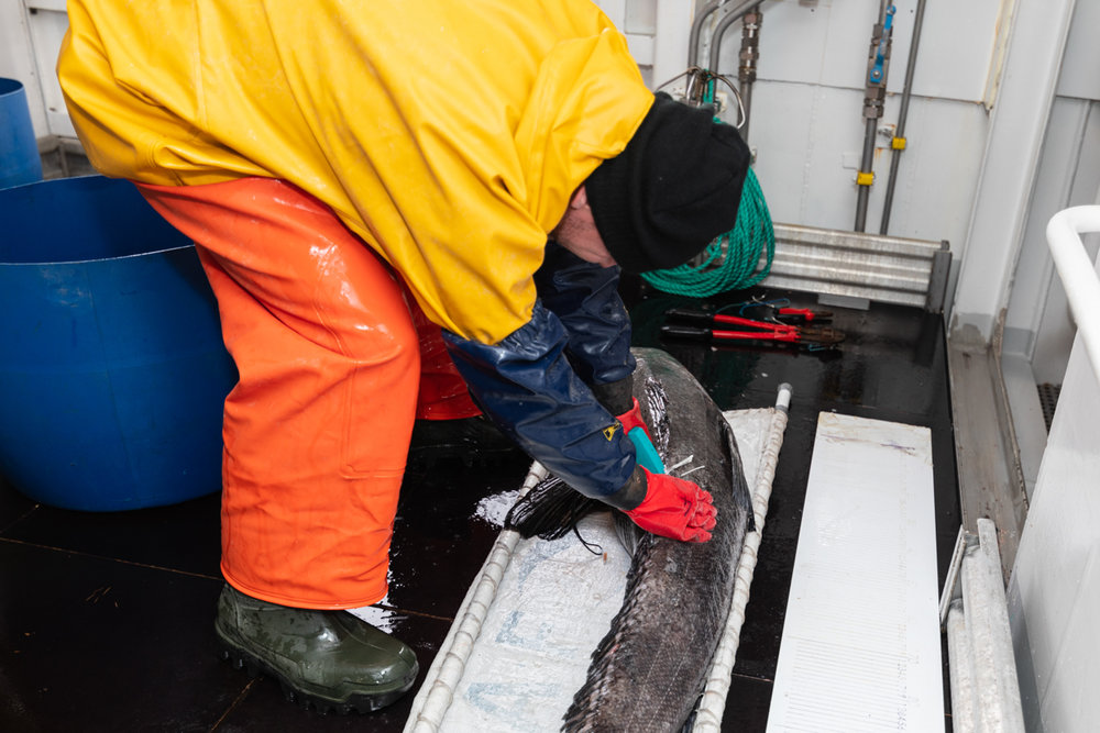 Felix tagging and releasing toothfish