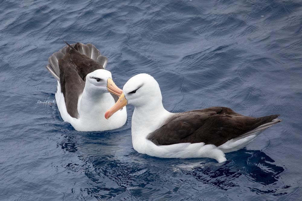 Mutually preening Black-Browed Albatross