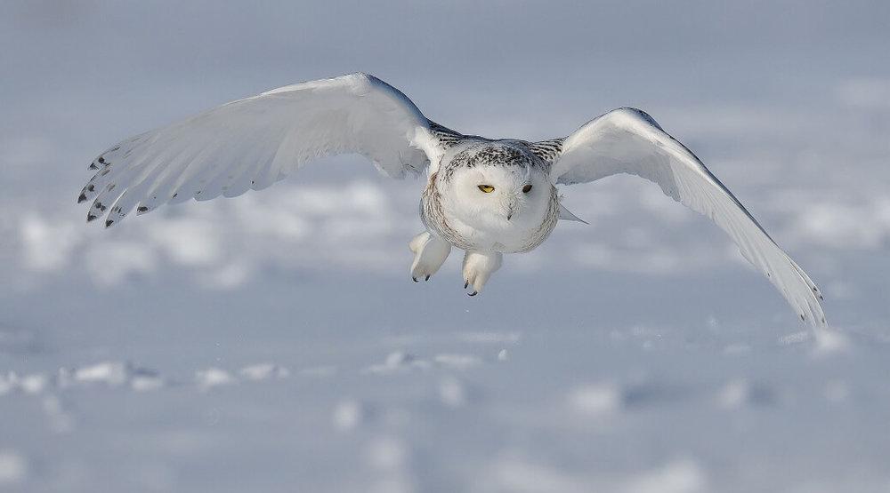 Snowy-Owl.1-1038x576.jpg