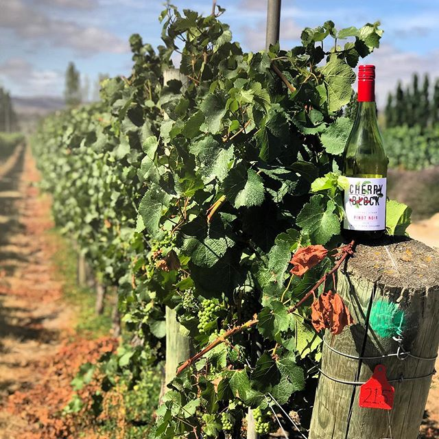 Cherry Block at home in the Pinot Noir vines of Central Otago. 🍒⬛️🍷 . #cherryblock #centralotago #pinotnoir #nzwine #wine #sommelier #antipodeansommelier #vine #vines #vineyard #winemaker