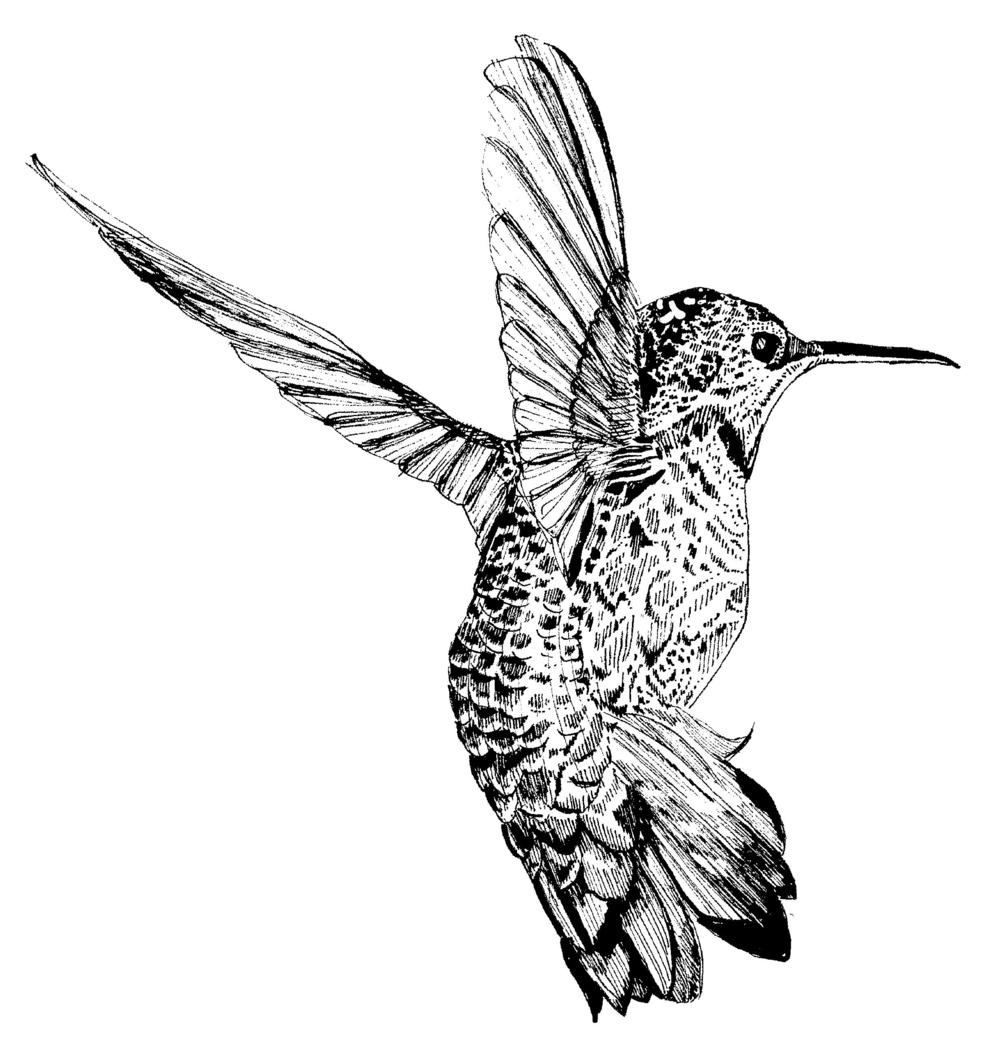 Anna's Hummingbird.png