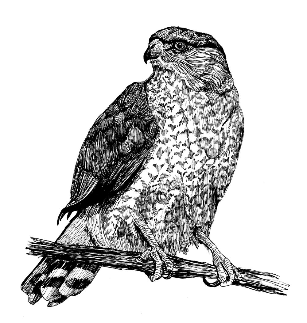 Cooper's Hawk.png