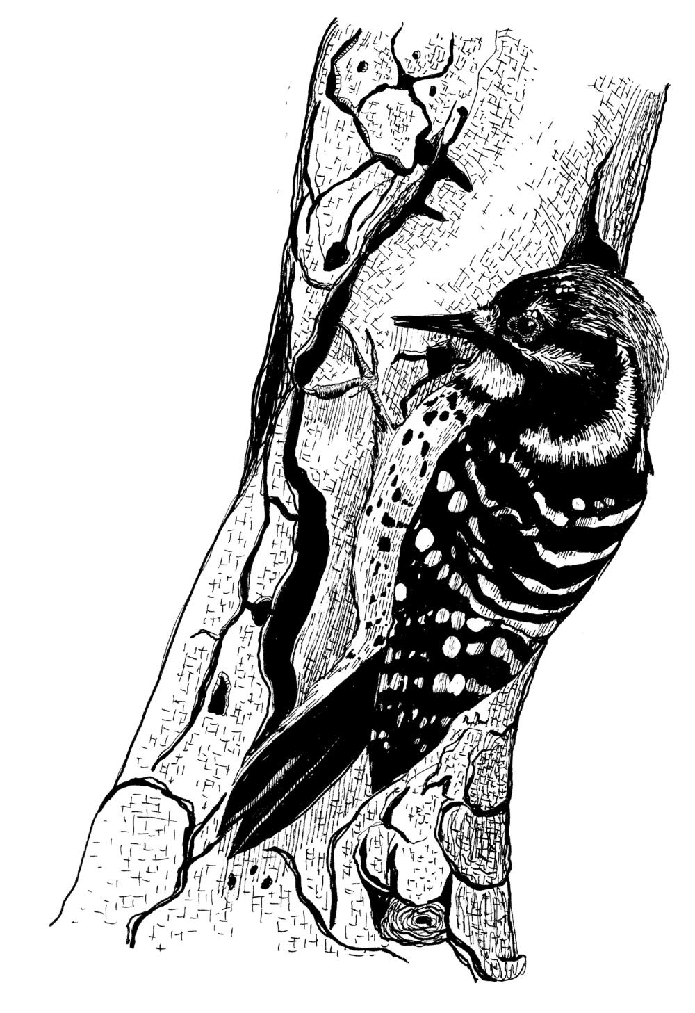 Nuttal's Woodpecker.png