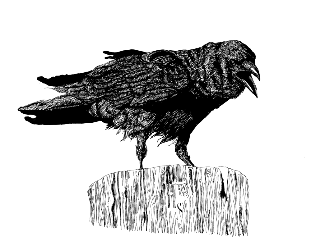 American Crow.png