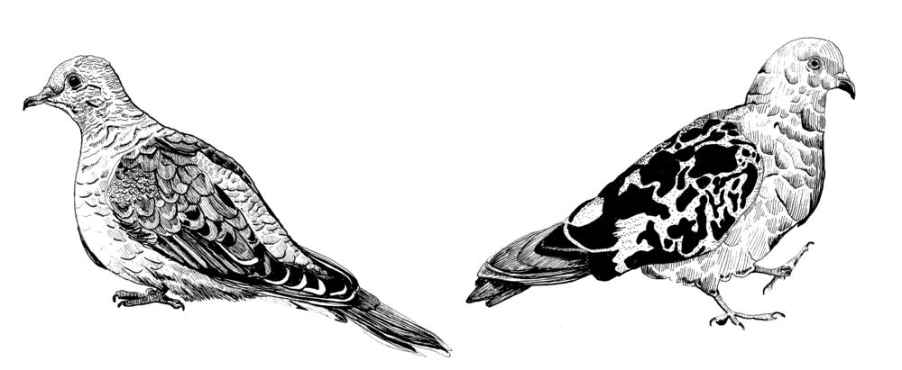 Mourning Dove and Pigeon.png