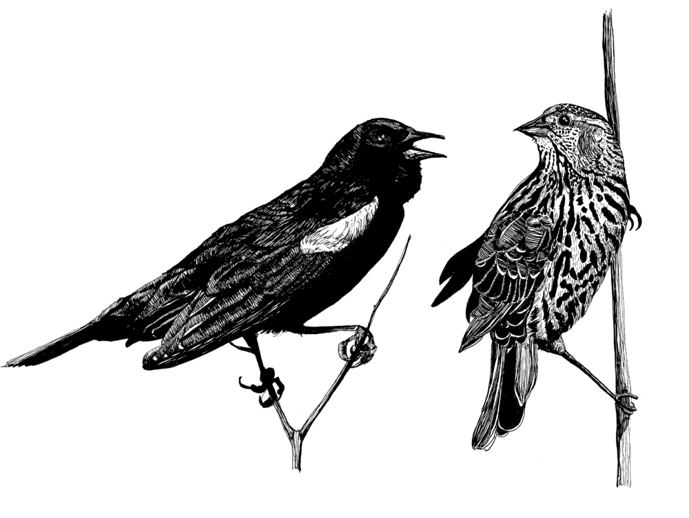 Red Winged BlackbirdS.png