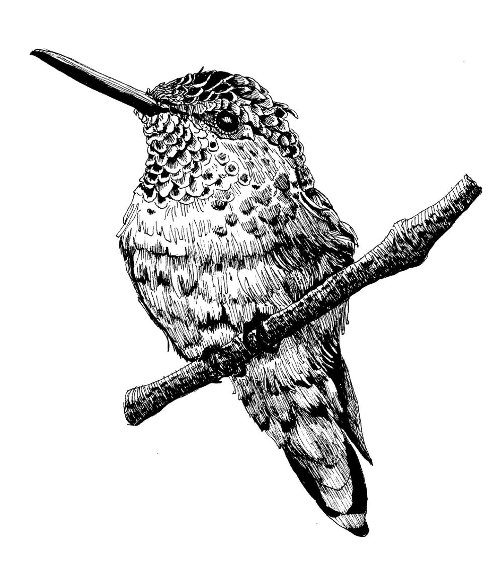 Rufous Hummingbird.png