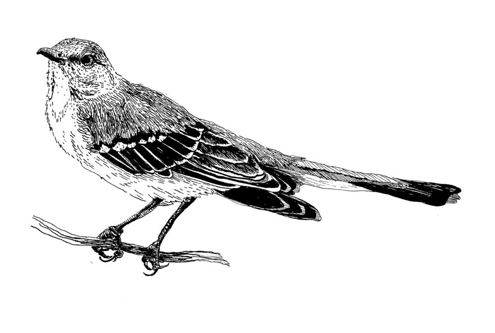 Northern Mockingbird.png