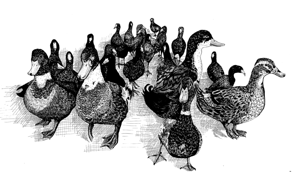 Mallards and Coots