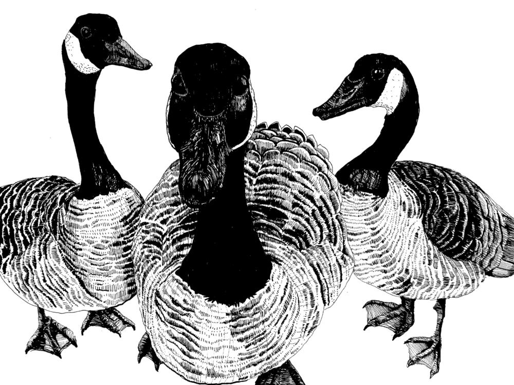 Thugs, aka Canadian Geese