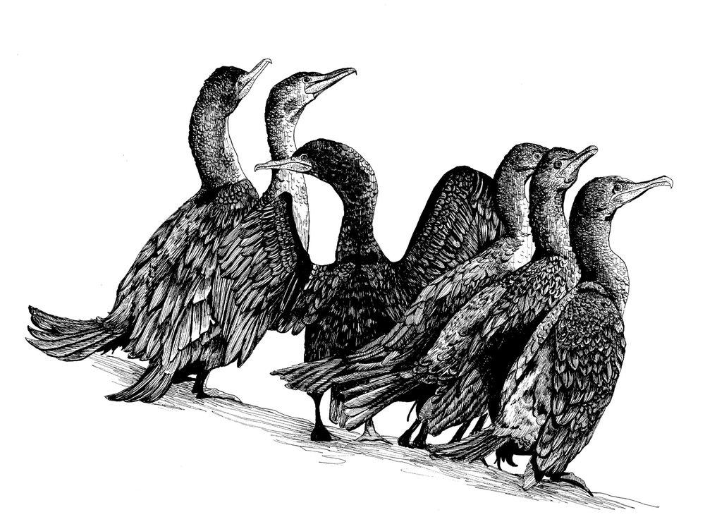 Cormorant.jpg