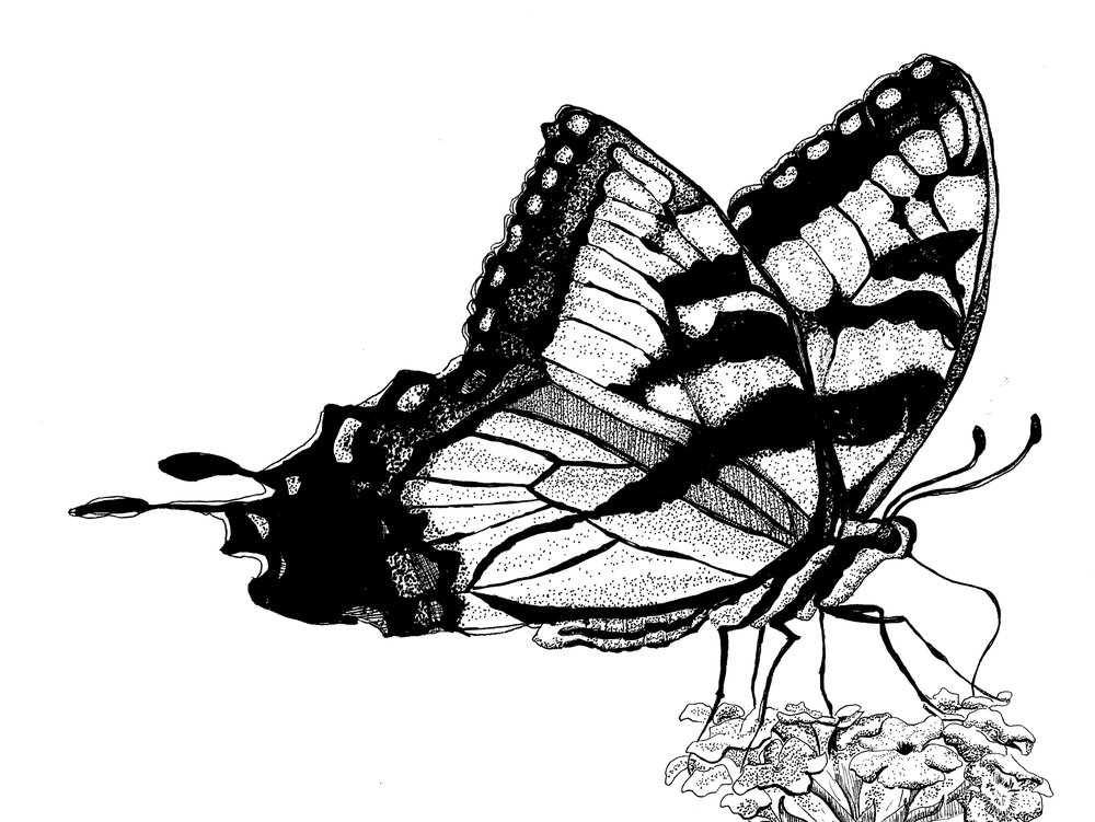 Western Tiger Swallowtail 2.jpg