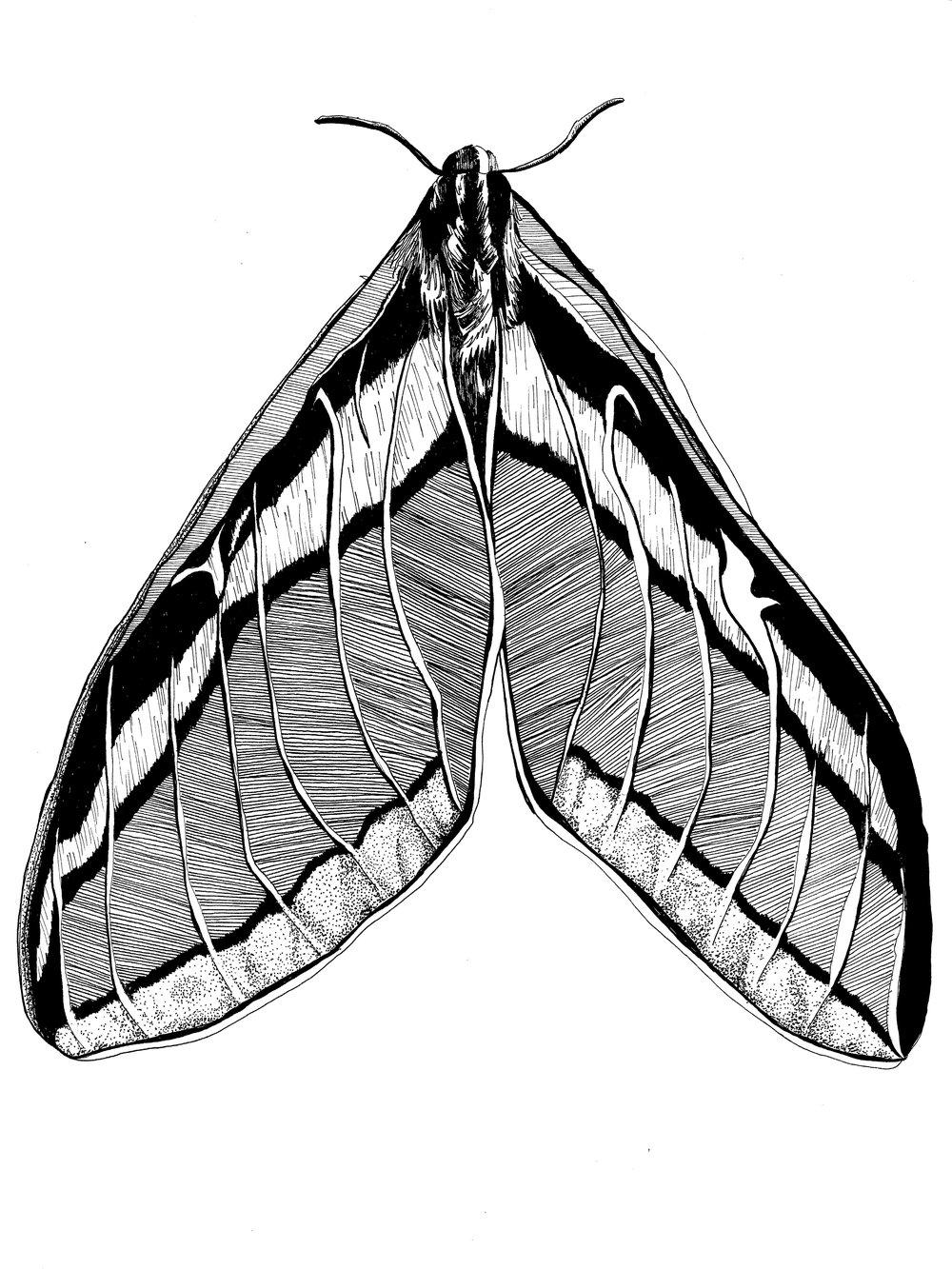 White Striped Sphinx Moth 9 x 12.jpg