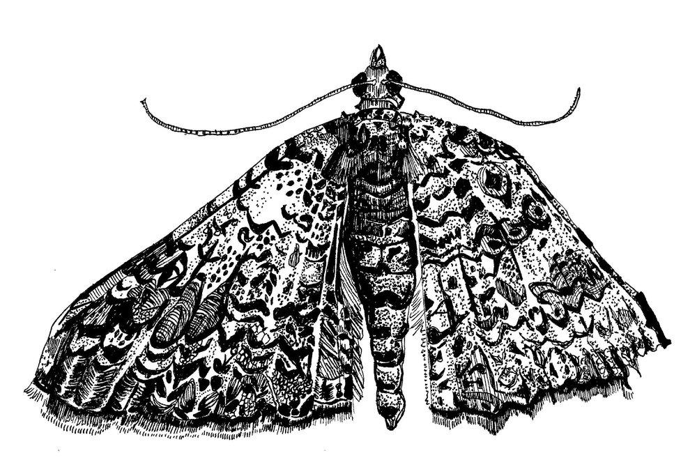 Perizoma Custodiata Moth zoom.jpg