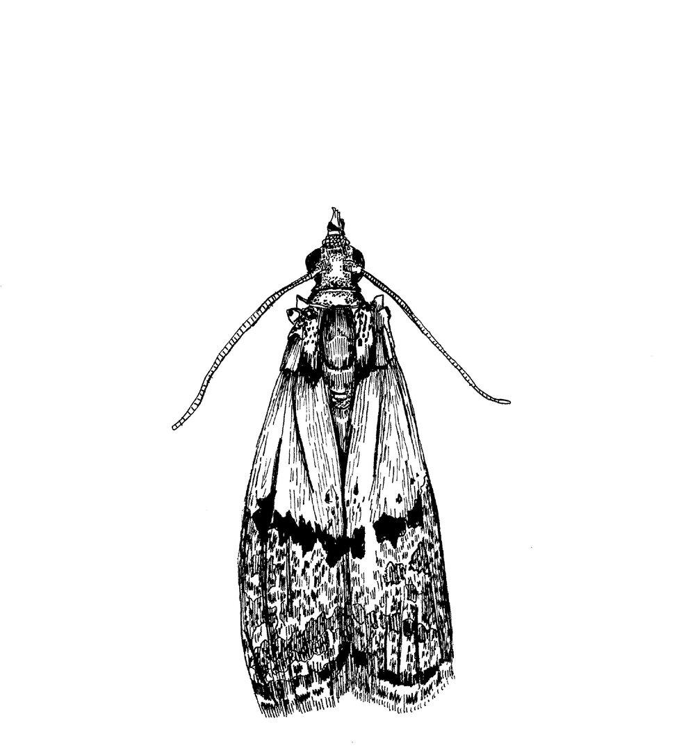 Pantry moth.jpg