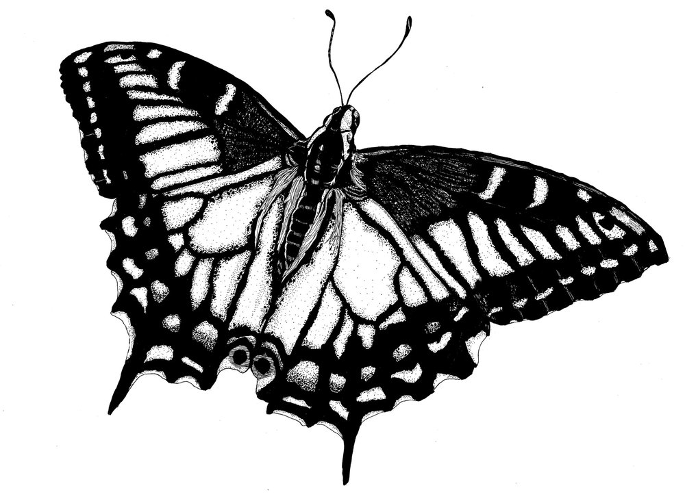 Anise Swallowtail 11 x 14.jpg