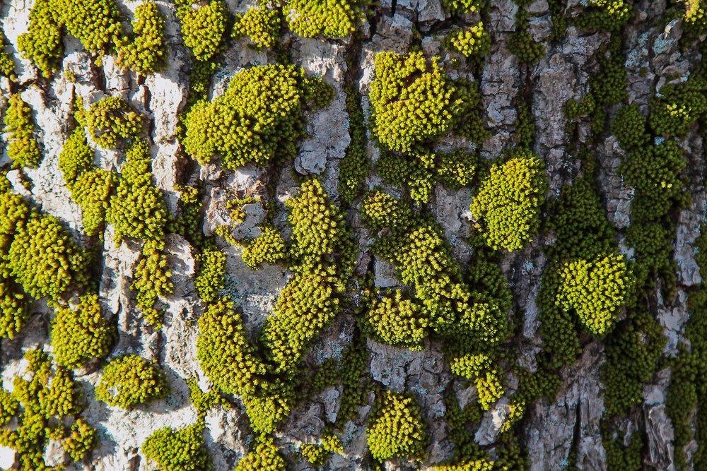 moss on treebark.jpg