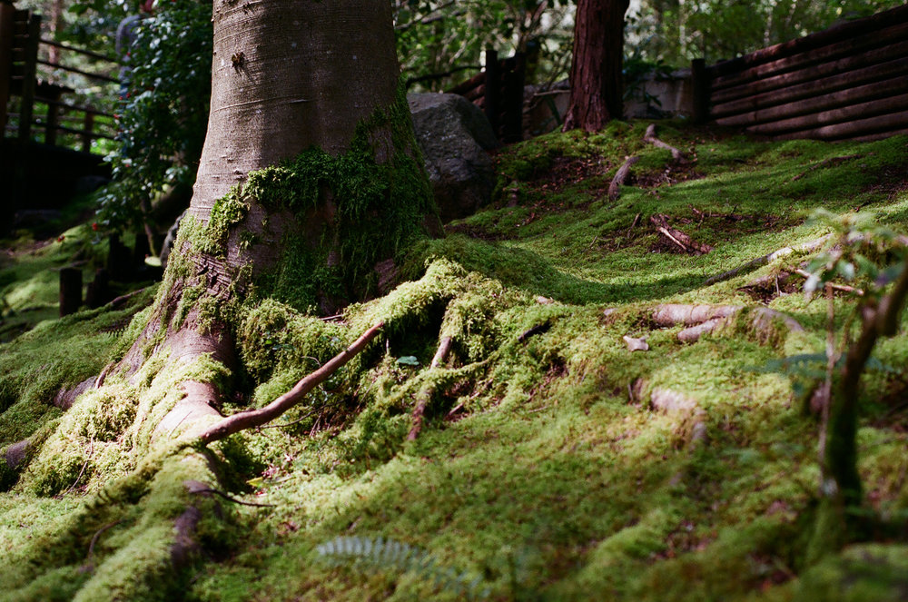 Moss_on_Tree_roots.JPG
