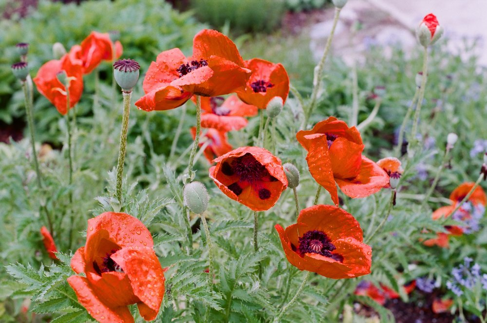 Red_poppies_Vermont_side.jpg