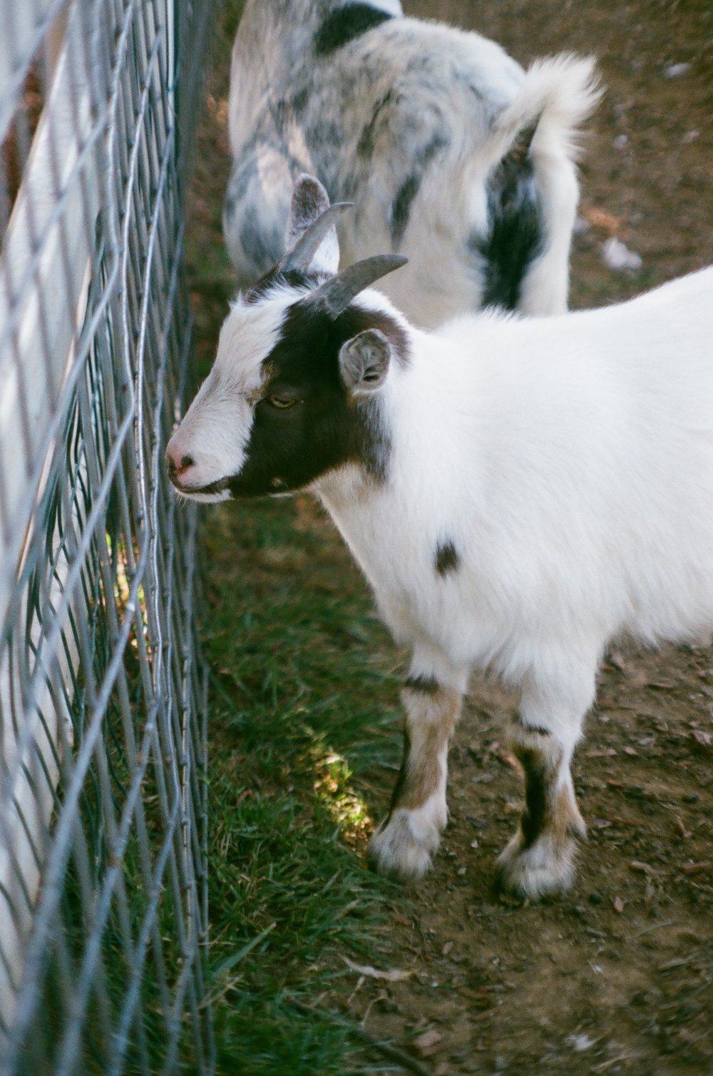 Goat_Petting_Zoo_PA-2.jpg