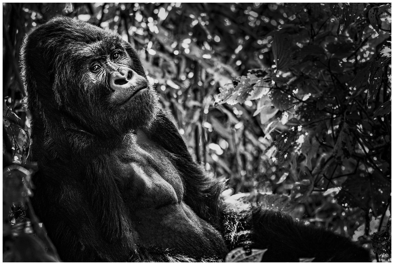 Silverback from Virunga National Park