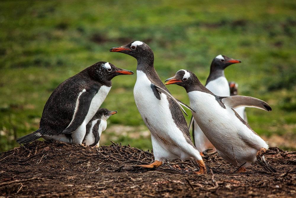 KathleenHertelPhotography-AntarcticaPenguins-17.JPG