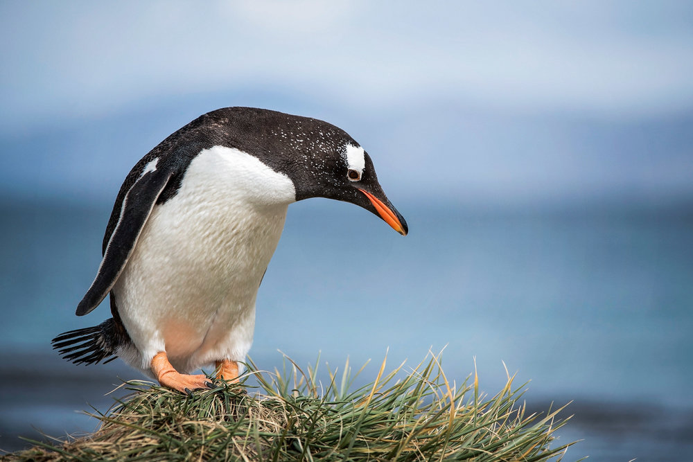 KathleenHertelPhotography-AntarcticaPenguins-39.JPG