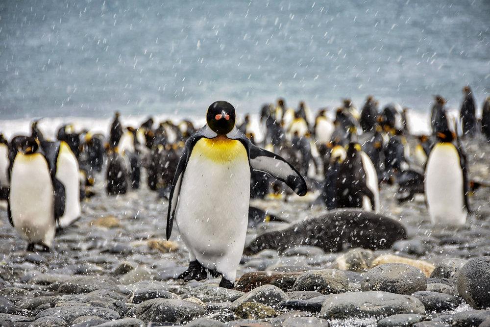 KathleenHertelPhotography-AntarcticaPenguins-70.JPG