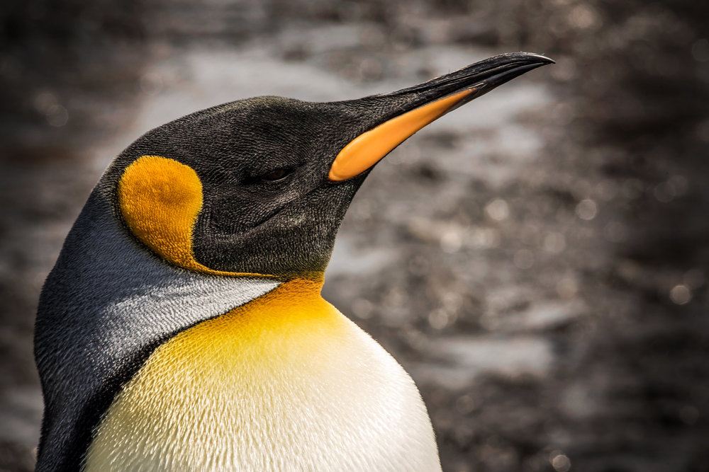 KathleenHertelPhotography-AntarcticaPenguins-87.JPG
