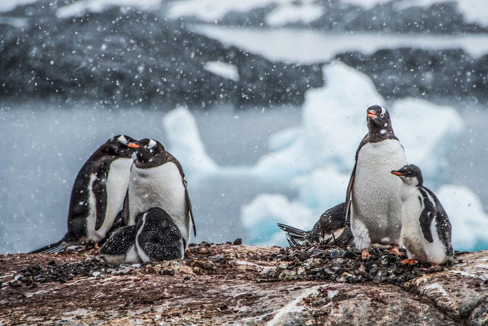 KathleenHertelPhotography-AntarcticaPenguins-161.JPG
