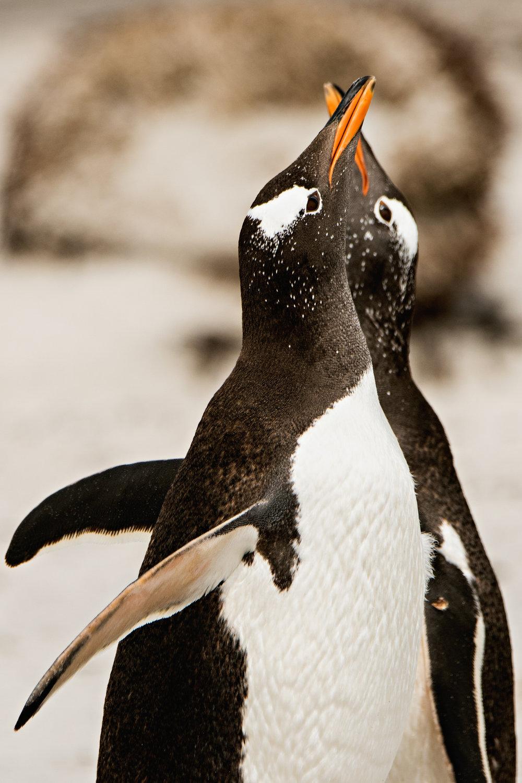 AntarcticaNovember2016-Penguins-.jpg