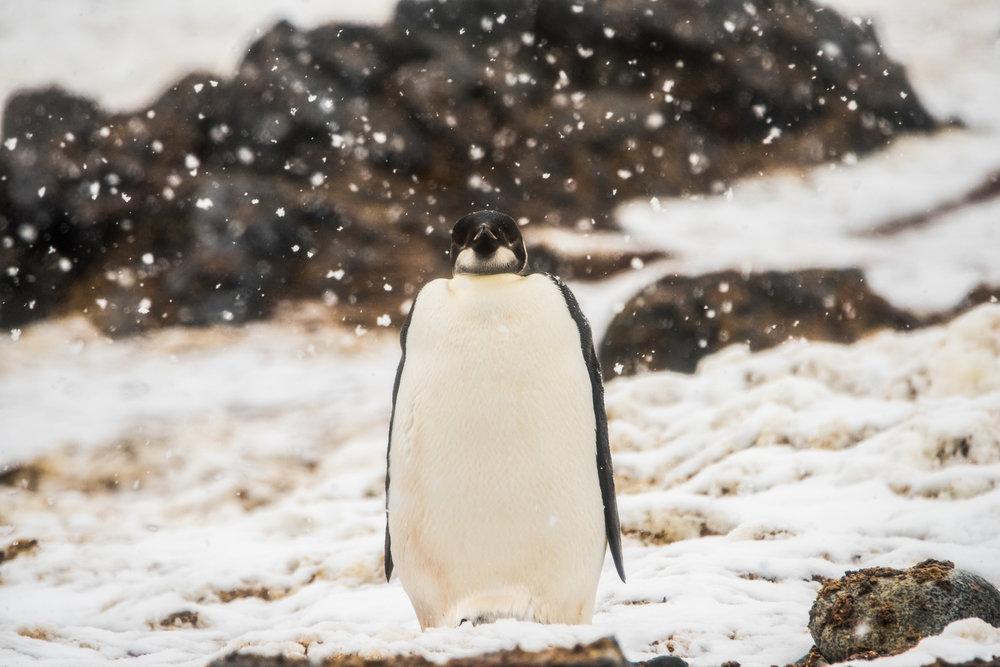 AntarcticaNovember2016-Penguins-1589.jpg